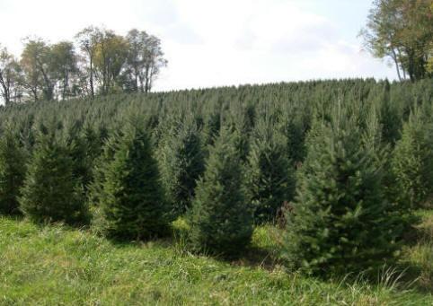 Karácsonyfa ültetvény