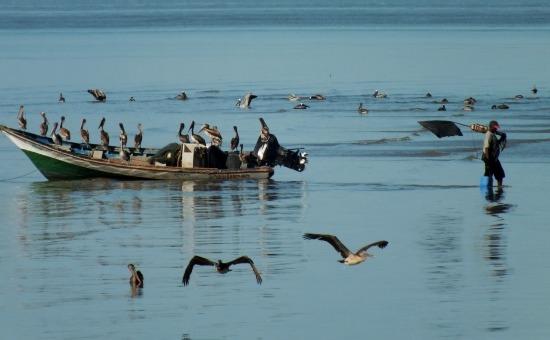 A halász legjobb barátja a pelikán