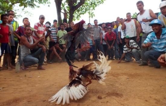 Őrjöng a tömeg, az egyik kakas felülkerekedik