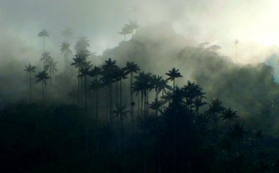 Cocora óriáspálmái a hajnali párában