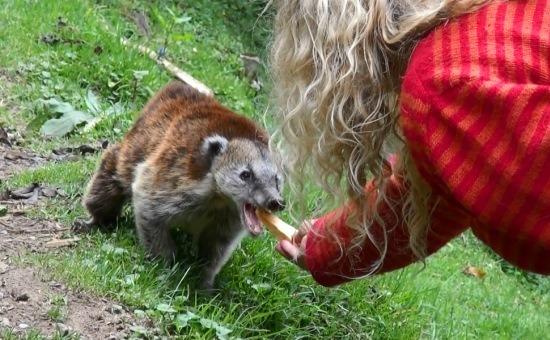 Eri ormányos medvét etet az erdő szélén