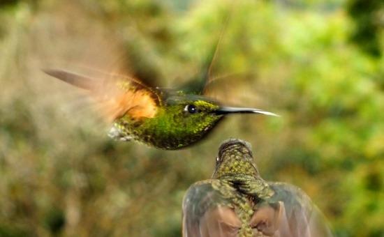 A kolibri azték eredetű szó, jelentése: a háború istene. Az elnevezés nem véletlen, mivel a Föld legkisebb madarai úgy védik területüket, hogy közben nem érnek egymáshoz