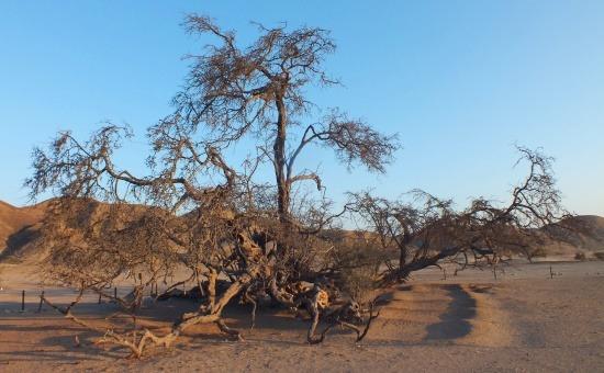 A Föld állítólag legöregebb fája több mint 2000 éves