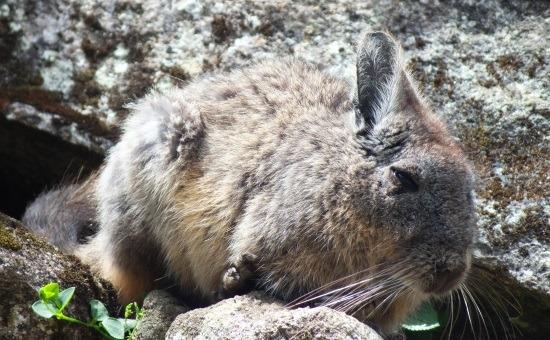 A viscacha, vagyis az andoki nyúl annyira őshonos a Machu Picchunál, mint Magyarországon a vombat