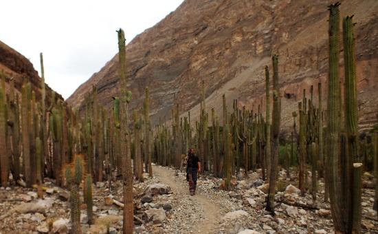 Judiopampa kaktuszerdője