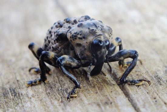 A rovarfóbia versenyben tuti dobogós a 10 centisnél nagyobb, de ártalmatlan ormányos bogár