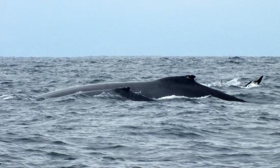 Nehéz a bálnafotózás, többynire csak a hátukat mutatják meg