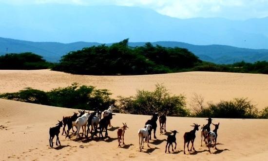 Kecskék a sivatagban, háttérben a következő állomásal, a San Luís-hegységgel