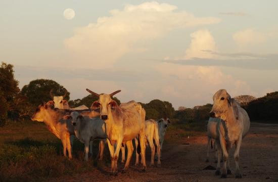 Sertéstelepek már nincsenek, a marhák még kitartanak