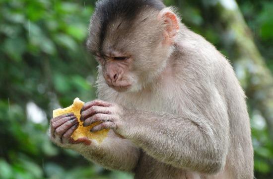 Puerto Misahuallíban kukázó majmok vannak mindenfelé