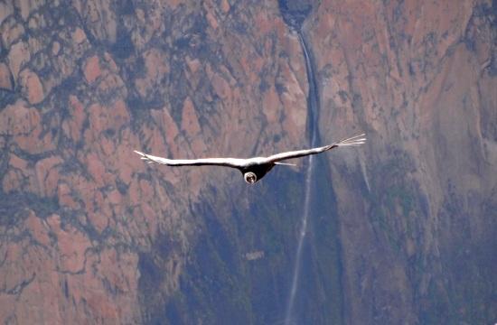 A kondor a Föld legnagyobb madara