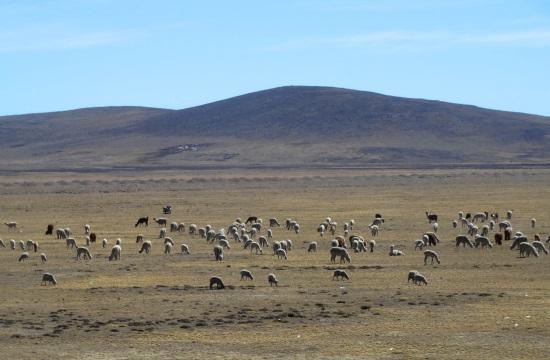 Lámacsordák legelésznek 4500 méter magasan