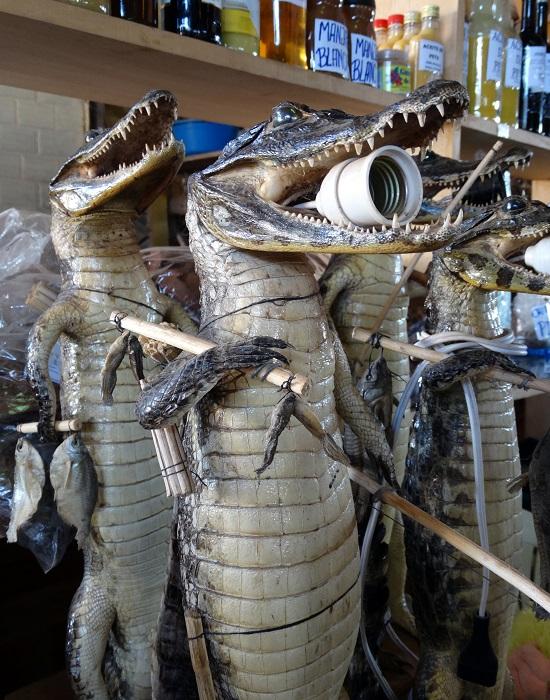 Furcsa ajándék a krokodillámpa