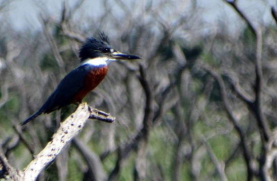 A jégmadár tipikus madara a Bañado La Estrellának