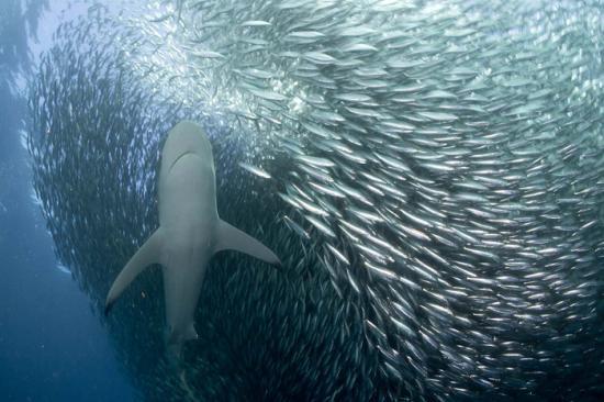 egzotikus cápa