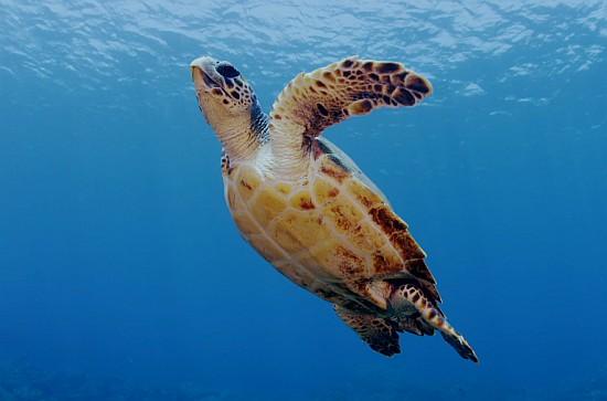 video teknős bálna