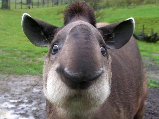 tapir-wallpaper-1.jpg