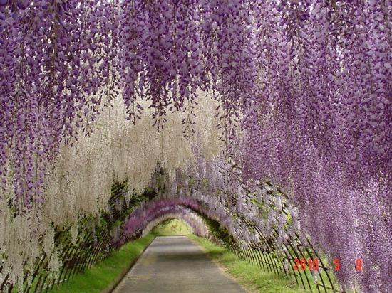 wisteria-tunnel-garden-design.jpg