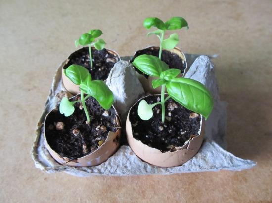 basil plants in eggshell pots.JPG