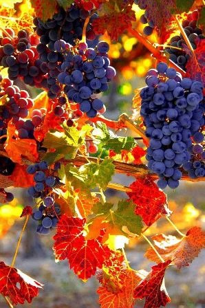 szőlőfürt.jpg