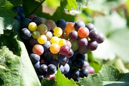 szőlő2.jpg