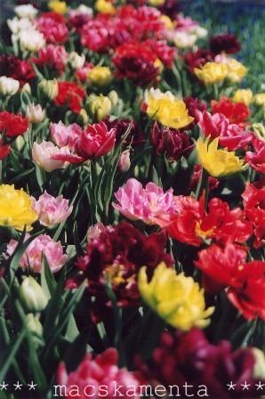 czauner_péter dália gyöngyike hagymás_virágok jácint kockásliliom nárcisz r:díszkert tavasz tulipán ültetés