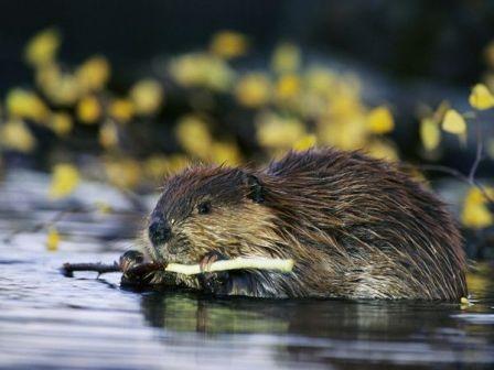 beaver_457_600x450.jpg