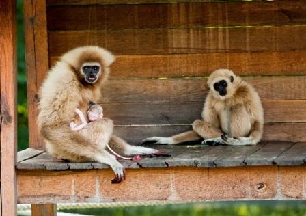 Másolat - Gibbon 34.jpg