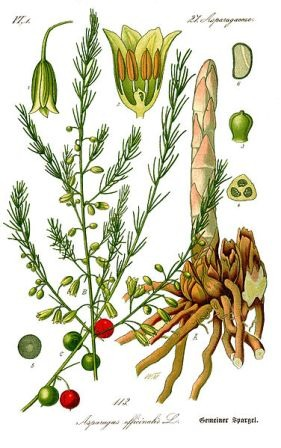 376px-Illustration_Asparagus_officinalis0b.jpg