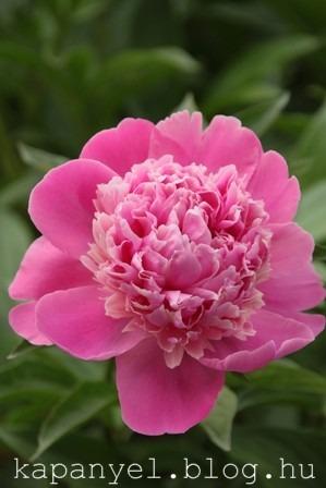 pünkösdi rózsa3.JPG