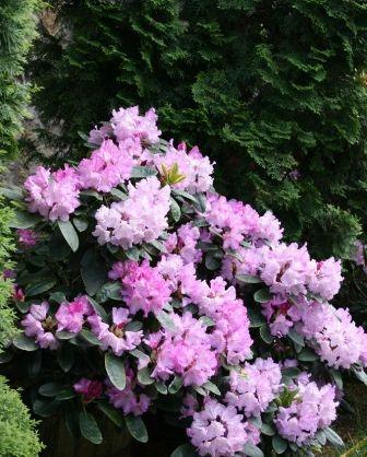 rododendron kép2.JPG