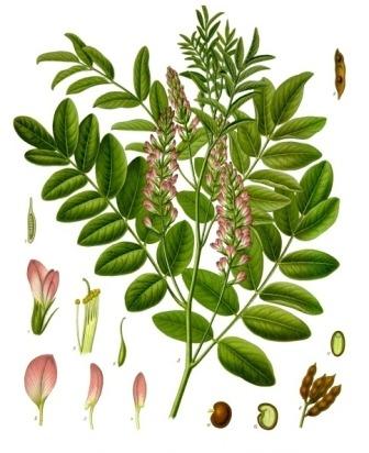 Glycyrrhiza_glabra_-_Köhler–s_Medizinal-Pflanzen-207.jpg
