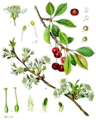 Prunus_cerasus_-_Köhler–s_Medizinal-Pflanzen-113.jpg