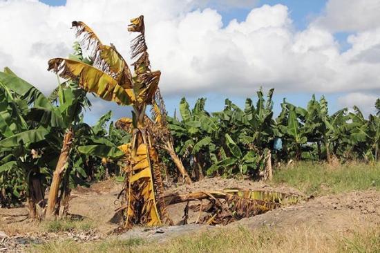 Így pusztítja a banánfát a betegség